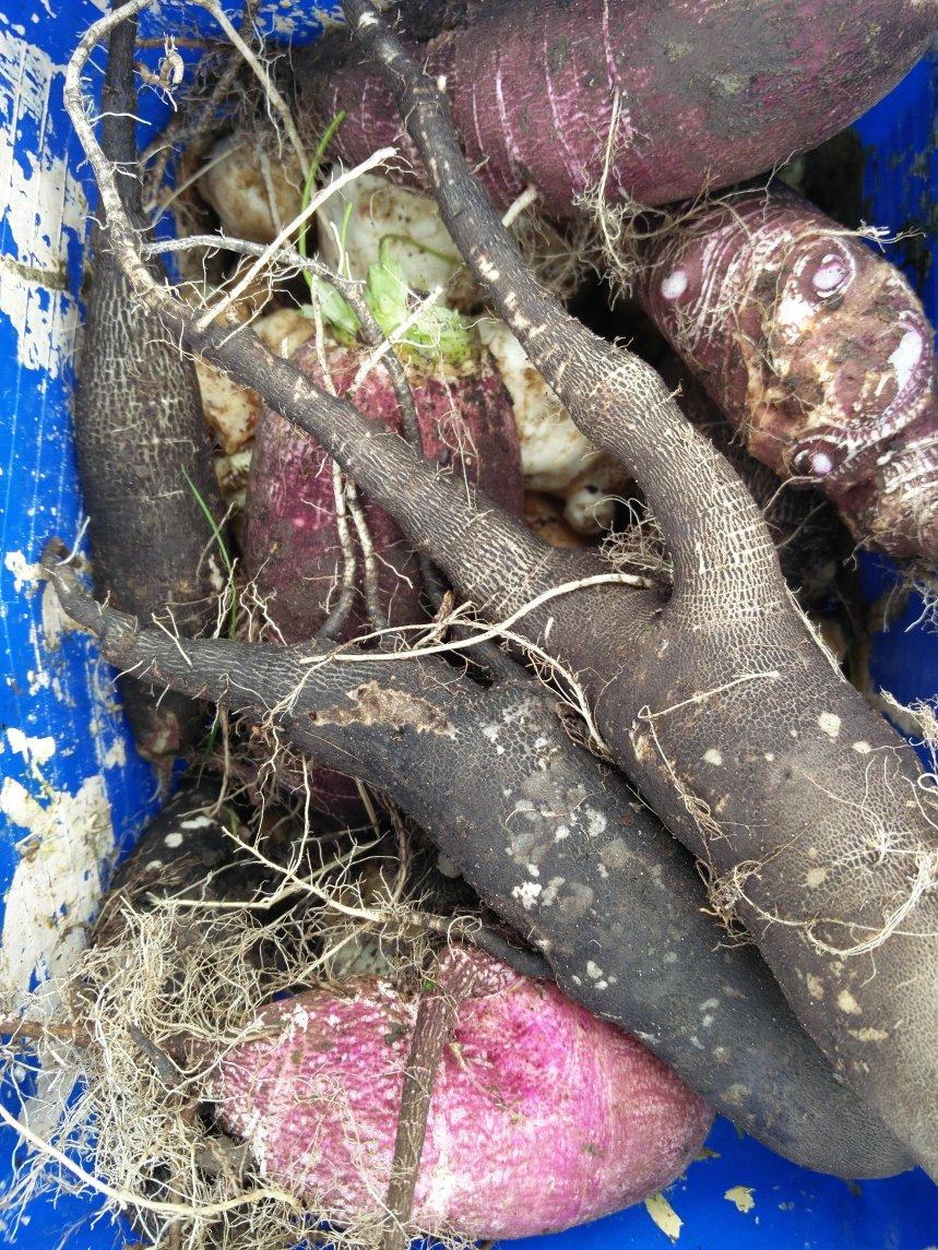 Récolte Radis noir et de Gournay